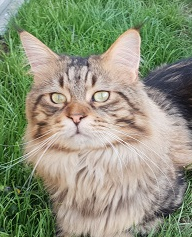 Maine coon , Florre